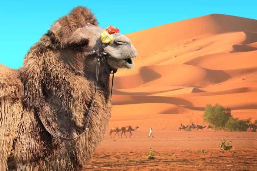 Cammelli nel deserto tunisino