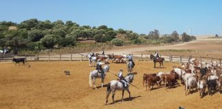 Jerez de la Frontera, lo spettacolo dei cavalli e tori andalusi A Campo Abierto