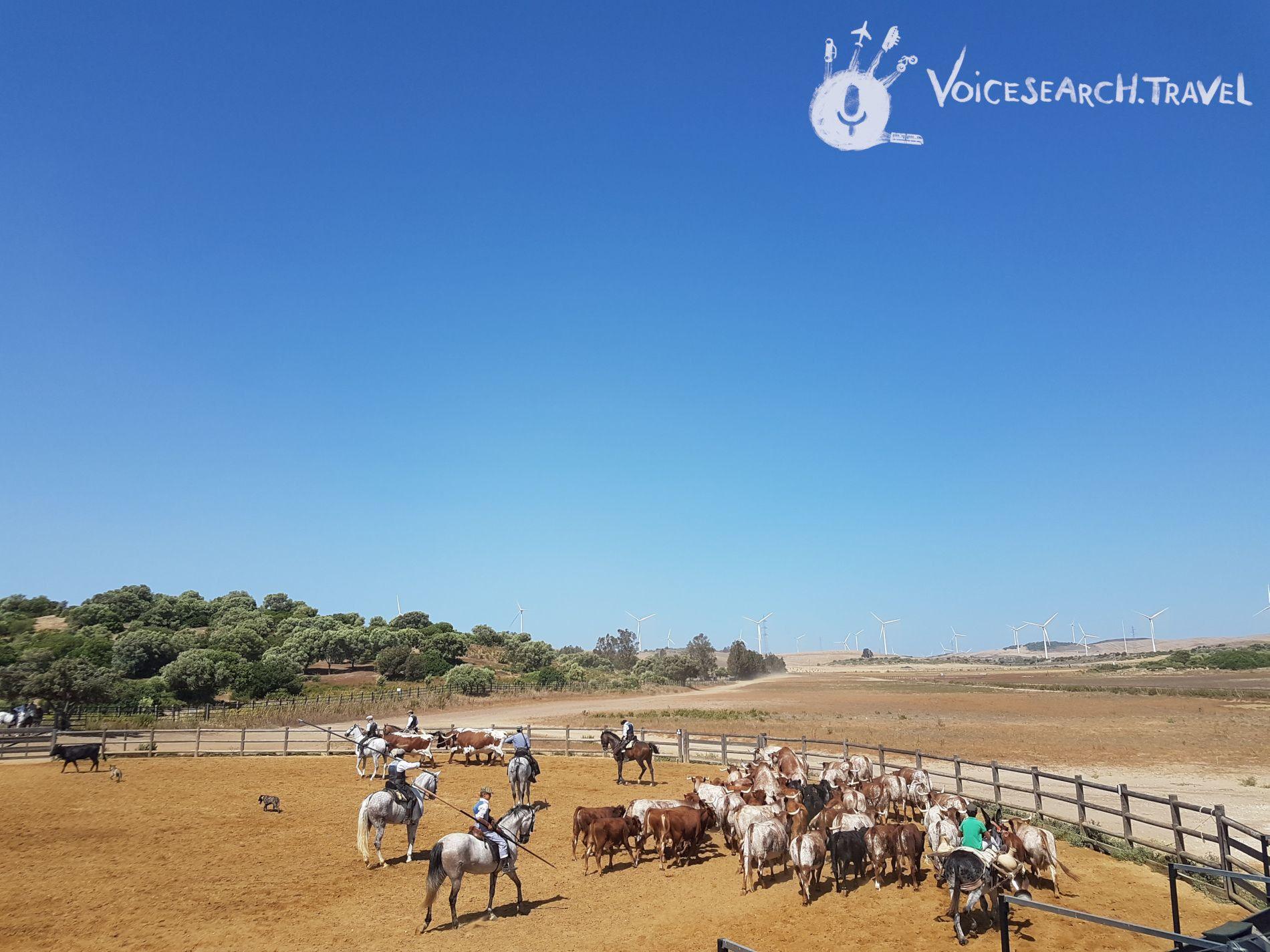 Spettcolo cavalli e tori andalusi a Medina-Sidonia